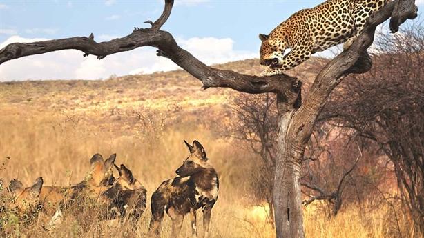 Chạm mặt đàn chó hoang, báo sợ hãi trốn lên cây