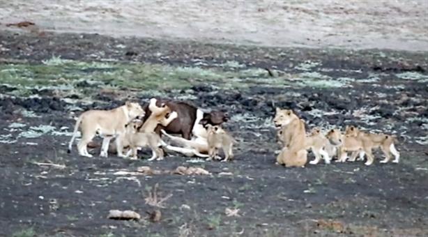Trâu non lọt giữa bầy sư tử dữ: Chết thảm