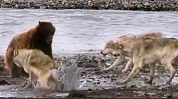 Gấu xám tử chiến với 4 chó sói: Kết cục 'té ngửa'