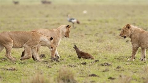Cầy mangut một mình chiến cả 4 sư tử lớn