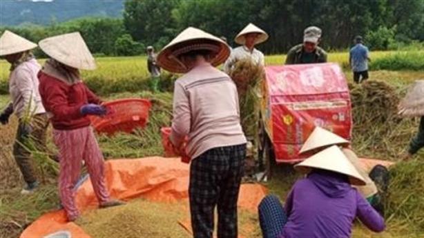 Cả nhà đi cách ly, cả xóm gặt lúa hộ: Vui lắm!