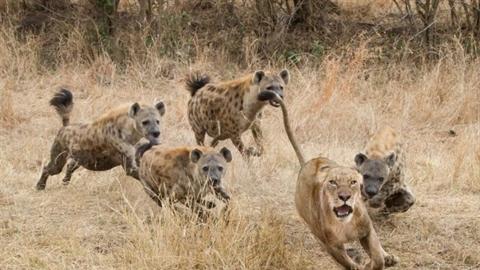 Đụng độ bầy linh cầu dữ, sư tử thoát kết bi thảm