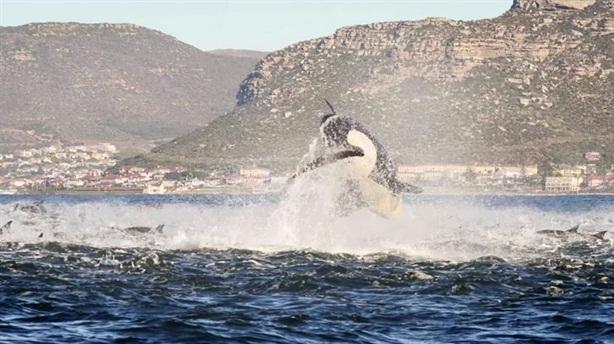 Cá voi sát thủ cuồng sát, trăm cá heo tán loạn