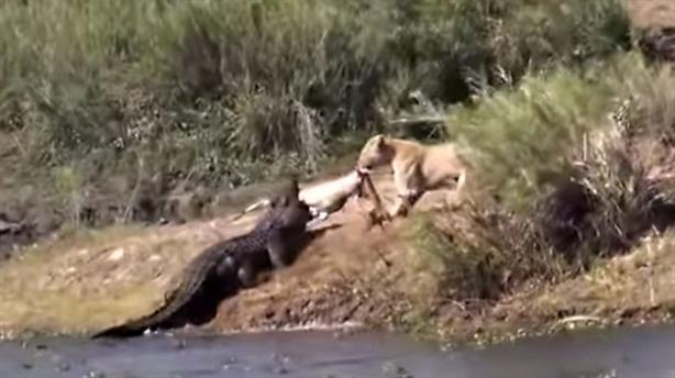 Sư tử mạo hiểm cướp mồi, đấu tay đôi với cá sấu