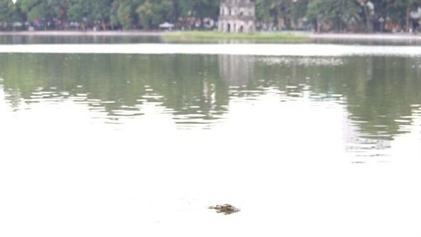 Cá chết ở Hồ Gươm: Do phóng sinh hay sặc nước mưa?