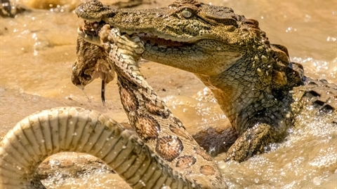 Cá sấu non lạnh lùng đoạt mạng rắn lớn