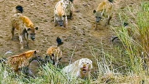 Linh cẩu dồn sư tử tới đường cùng: Kết đắng