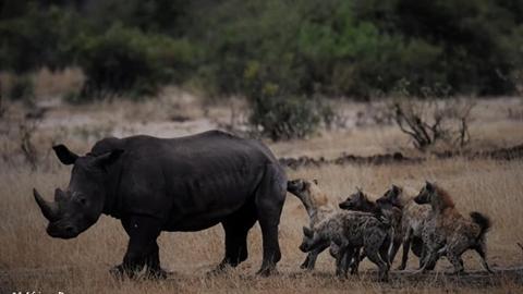 Linh cẩu chơi lớn hợp sức săn và chén thịt tê giác