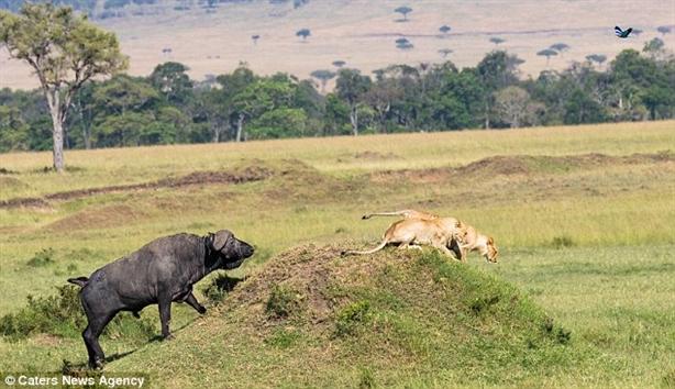 Đôi sư tử hèn nhát thấy trâu rừng liền chạy chối chết