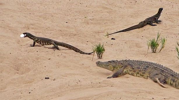 Đôi thằn lằn ranh mãnh khiến cá sấu thua đau đớn