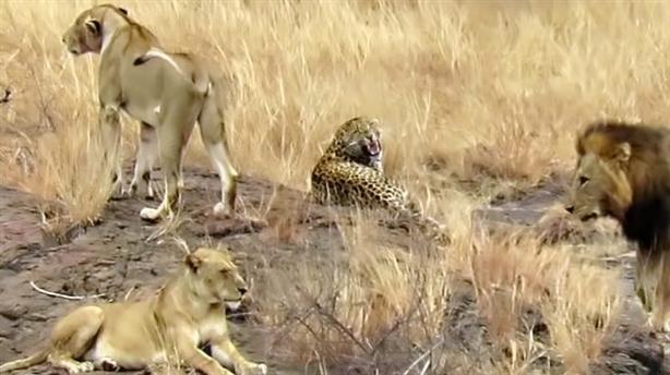 Báo đực lọt giữa bầy sư tử và cái kết