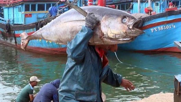 Cá ngừ Việt sang EU: Nhật ký từ biển lên... bàn ăn