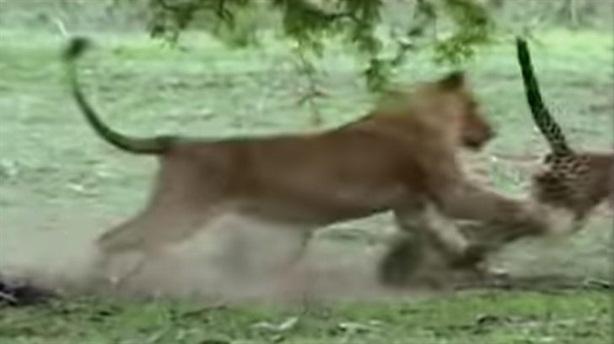 Sư tử cái phục kích, đoạt mạng báo săn