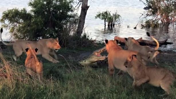 Tính cướp mồi bầy sư tử, cá sấu suýt nhận trái đắng