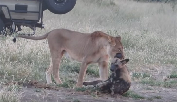 Chó hoang ranh mãnh khiến sư tử nhận kết đắng