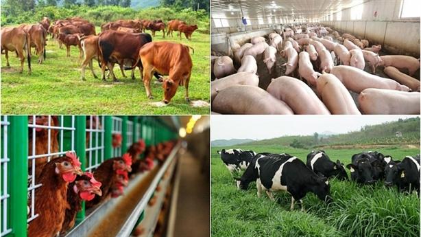 Chăn nuôi xuất khẩu: Để không phải soi kính hiển vi...