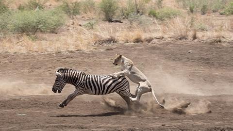 Non kinh nghiệm, sư tử đói thua thảm trước ngựa vằn