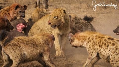 Sư tử bỏ chạy khỏi đàn linh cẩu, cả đàn mất bữa