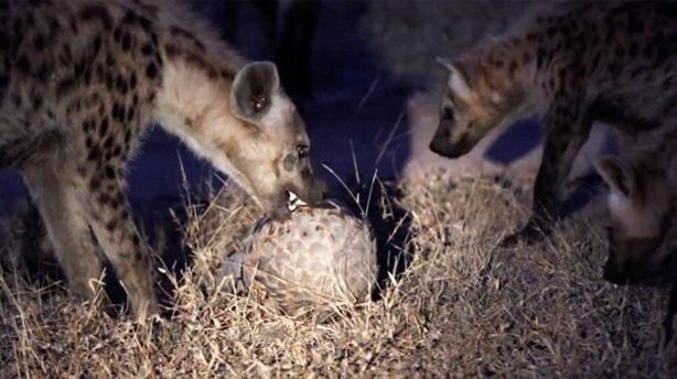 Bầy linh cẩu đói bất lực trước vỏ tê tê