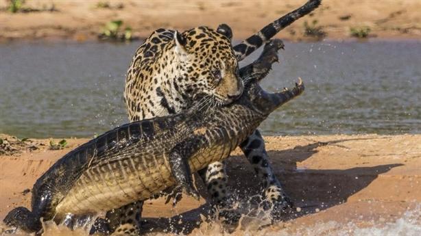 Báo đốm phục kích, săn cá sấu như phim hành động