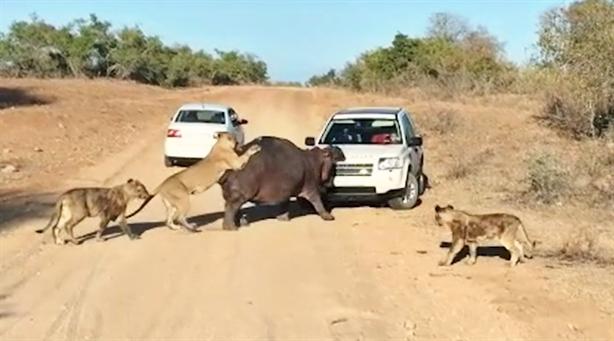 Sư tử chiến hà mã ngay trước mũi ô tô: Kết thảm