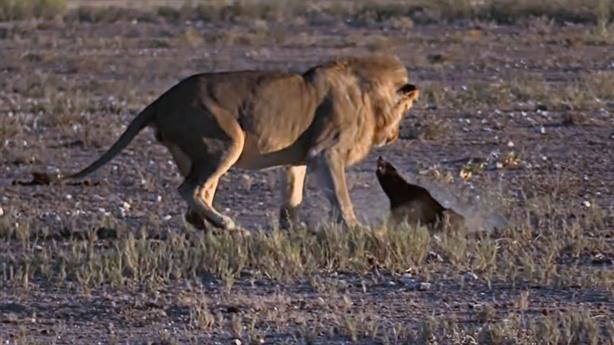 Lửng mật trêu ngươi, sư tử nuốt tức khi đi săn