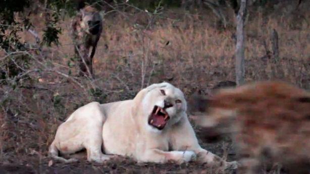 Bị linh cẩu cướp mồi, sư tử trắng chạy té khói