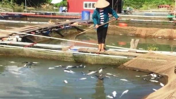 Thủy điện Hòa Bình xả lũ: Chết hơn 40 tấn cá