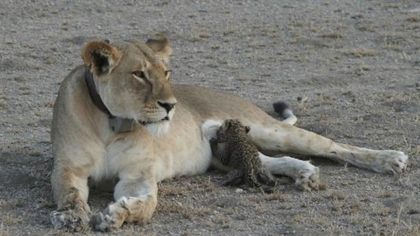 Sư tử mẹ cho báo con bú: Cái kết có như mơ?