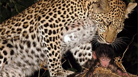Báo giết khỉ mẹ, âu yếm khỉ con: Kết khó tránh