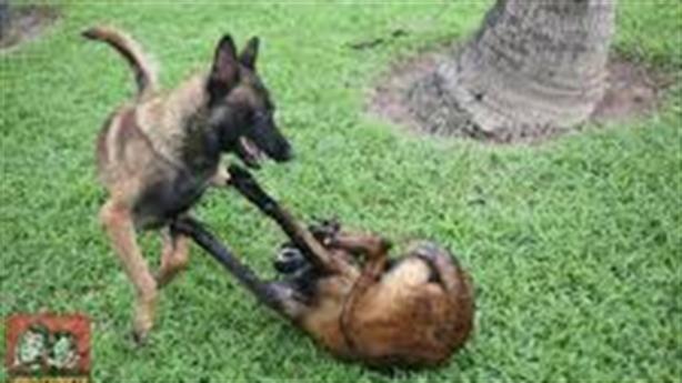 Trộm dùng 'mỹ cẩu kế', loại đàn chó canh cổng biệt thự