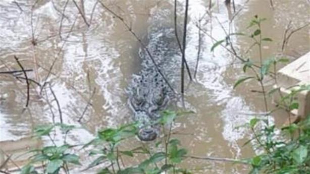 Cá sấu khủng bơi trên sông, hộ dân nuôi từ bé