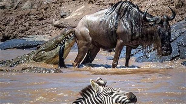 Ngựa vằn cứu linh dương đầu bò khỏi hàm cá sấu