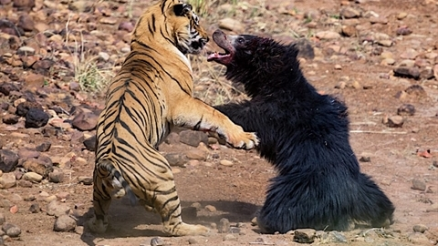 Gấu đại chiến hổ: Lật ngược tình thế phút cuối