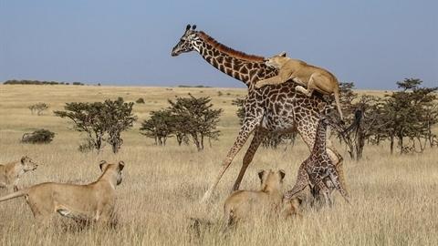 Sư tử gian manh, mẹ con hươu cao cổ nhận kết thảm