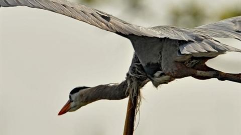 Bị nuốt, cá chình đâm thủng cổ chim diệc để thoát thân