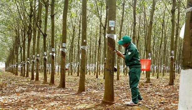 Cao su, tiêu tính vào tỉ lệ che phủ rừng: Không ổn...