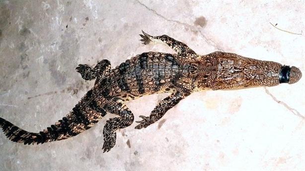 Phát hiện cá sấu trong ruộng lúa: không bán...
