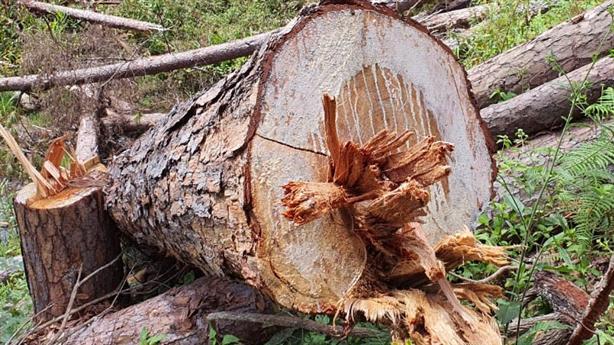 Hàng trăm cây thông thân to bị cưa hạ: Mục đích chính