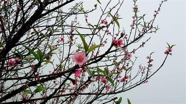 Hoa đào miền Bắc nở trước tết 3-4 tháng: 'Bình thường'