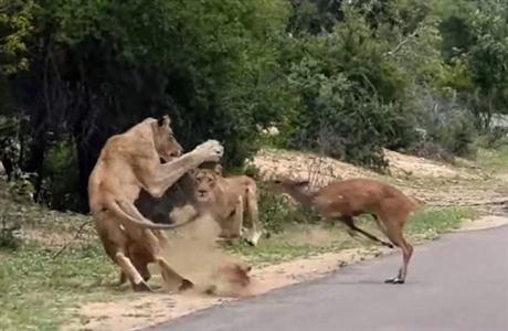 Linh dương chết thảm vì chạy đâm đầu vào đàn sư tử