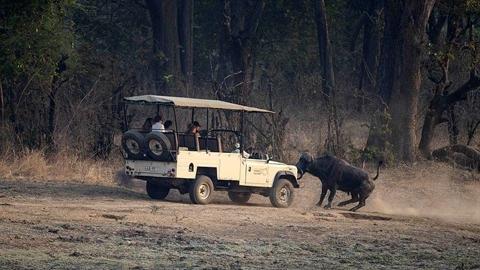 Du khách đụng độ trâu rừng nổi điên: Cái kết hú hồn