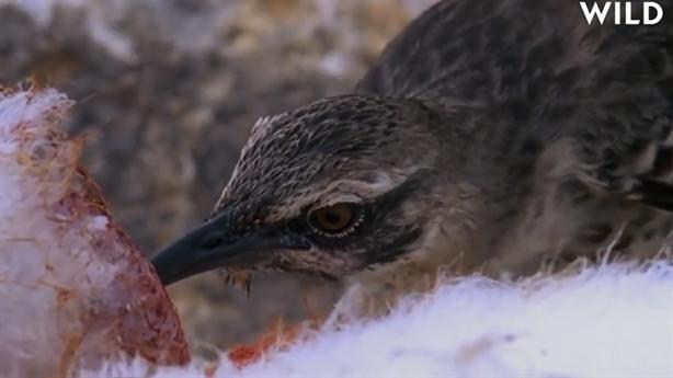 Bí ẩn cảnh chim hút máu ở đảo Galapagos