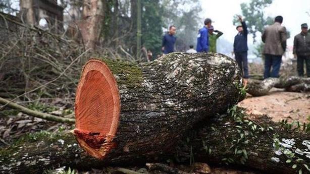 Lô gỗ sưa trăm tỷ vẫn ế: 'Không hối hận khi chặt'
