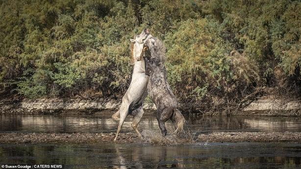 Giành bạn tình, đôi ngựa hoang kịch chiến khốc liệt