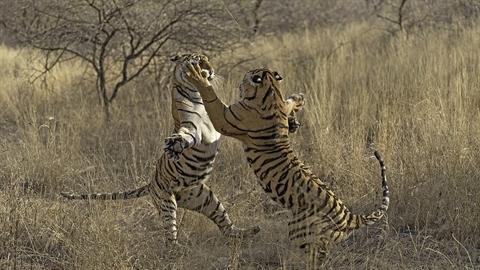 Mẹ con hổ dữ đánh nhau tơi tả: Vì sao nên nỗi?