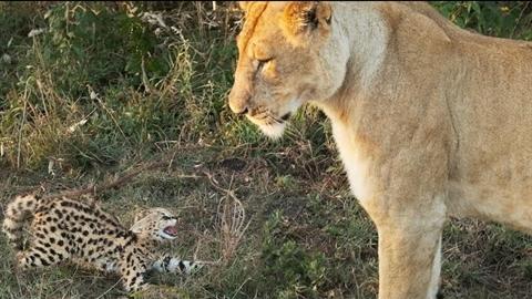 Mèo hoang mẹ kêu thảm, mèo con bị sư tử tóm sống...