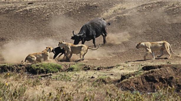 Sư tử dồn mẹ con trâu rừng tới cửa tử: Kết sốc