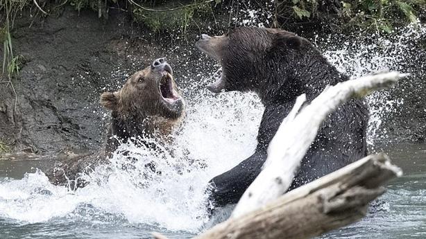 Gấu xám khổng lồ đánh nhau dữ dội vì cá hồi