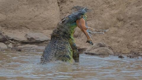 Cá sấu khổng lồ chầu chực linh dương: Có phép màu?